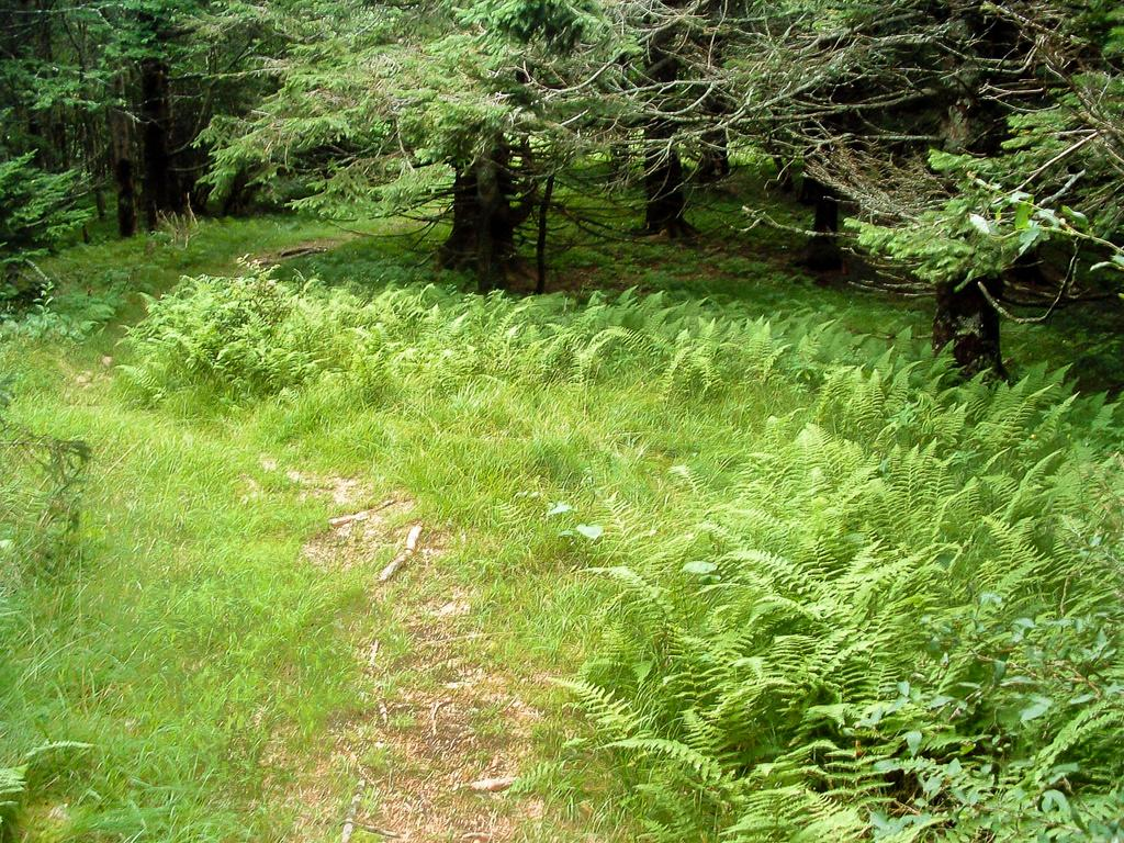 Trail through Spruces and Ferns