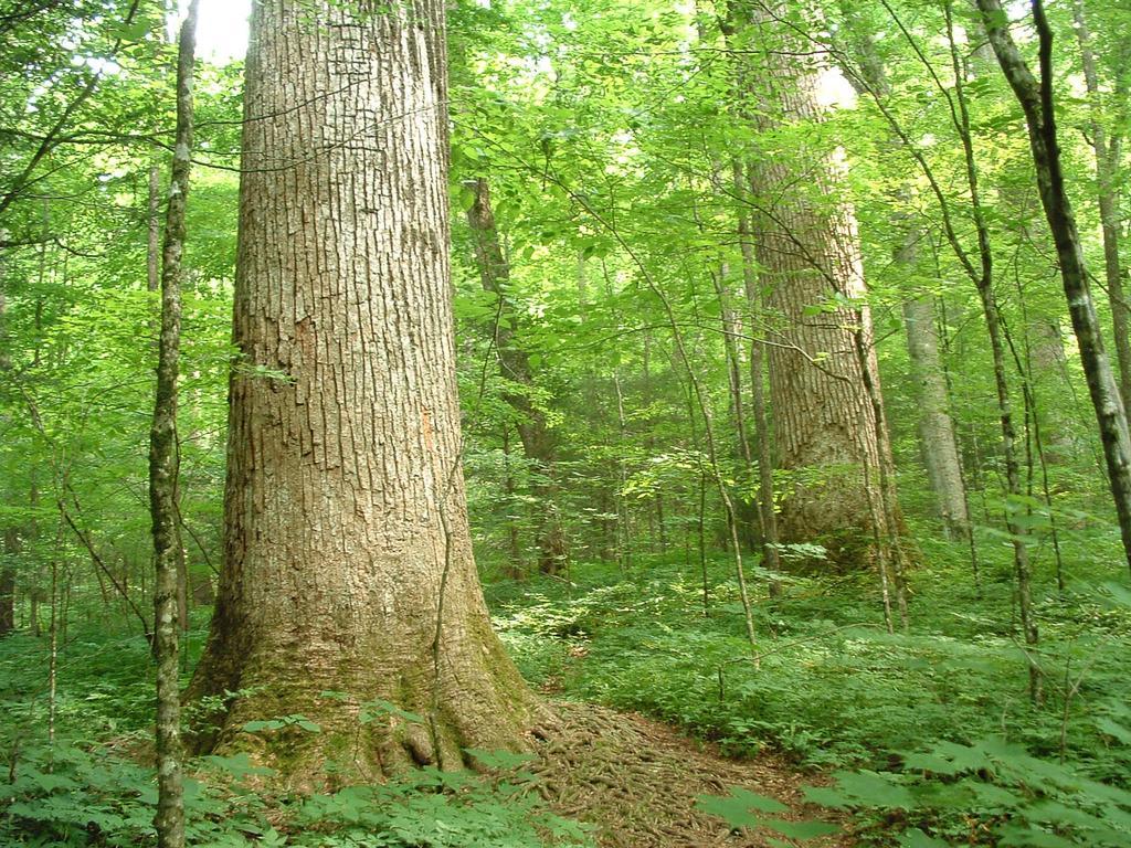 Big trees in Joyce Kilmer