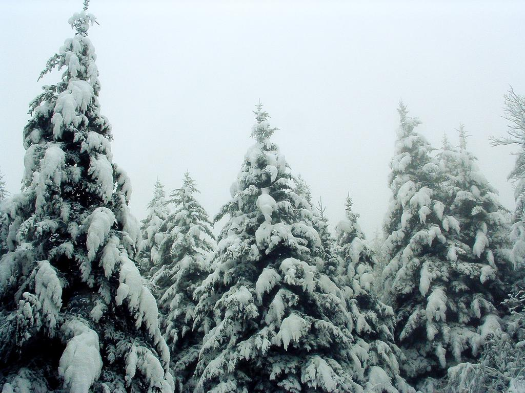 Snow-laden spruces beside the trail