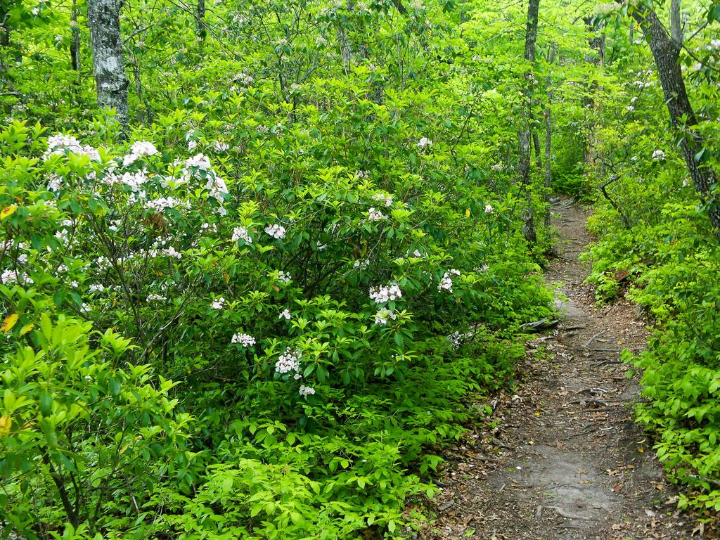 Mountain Laurel blooming along the John Rock trail