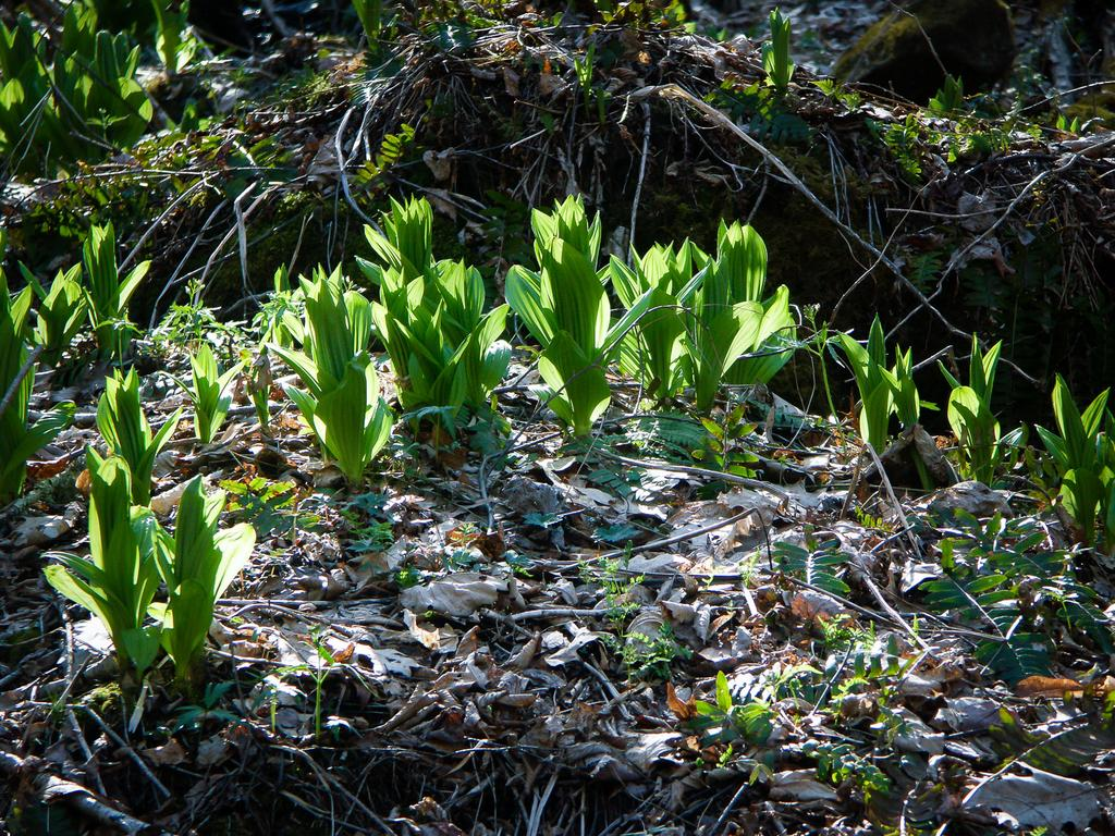 Rough Creek Watershed False Hellebore