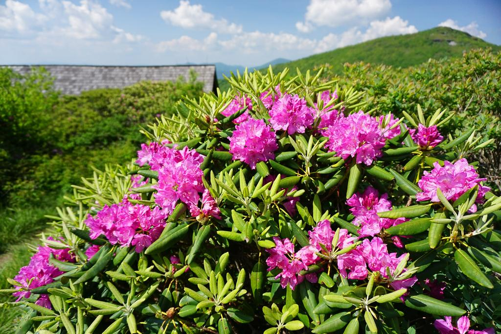 Blooming Catawba rhododendron, part of what gives Craggy Gardens its name.