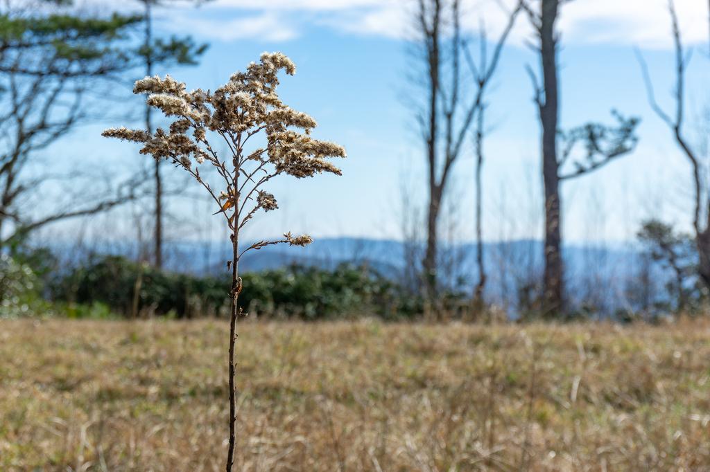Goldenrod Seedhead in Wildlife Meadow on Licklog Road