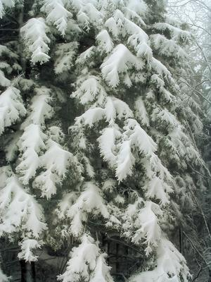 Snow-laden spruce branches near the start of the hike.