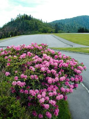 Blooming rhododendron at the Waterrock Knob overlook.