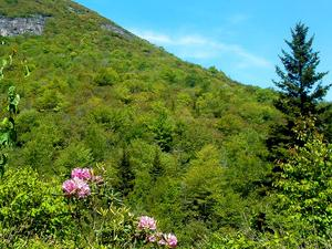 Rhododendrons along the Flat Laurel Creek Trail