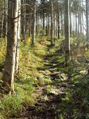 Trail thru Firs