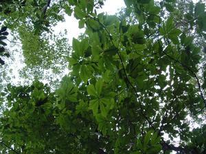 Fraser Magnolia Foliage