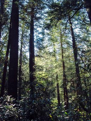 Primeval Hemlock Forest