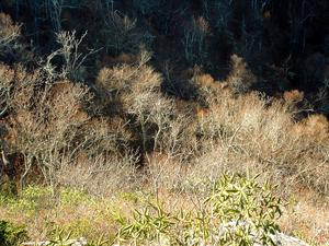 An Aspen Forest - in North Carolina!