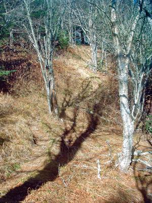 Open Birch Woods