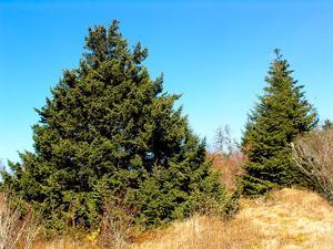 Fat Spruce