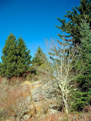 Spruce-Fir Forest on Rocky Ridge