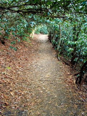 Rhododendron Tunnel on the Homestead Trail