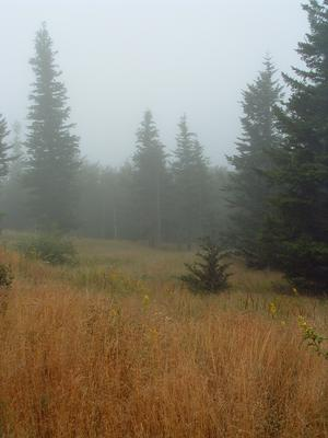 Fog surrounds spruces at a grassy opening near Camp Alice