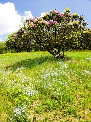 Flowers and Rhododendron at Craggy Pinnacle