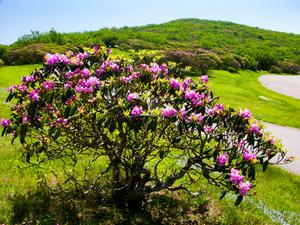 Rhododendron at Craggy Pinnacle
