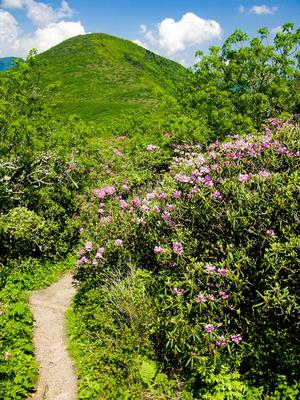 Blooming Rhododendron Along the Trail