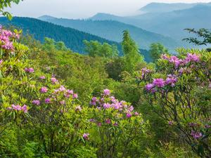 Catawba Rhododendron on Sam KNob