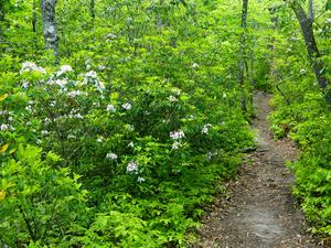 Mountain Laurel on the John Rock Trail