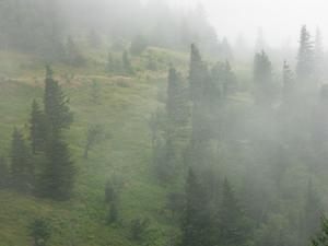 Spruces in Fog at Camp Alice
