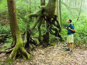 Stilt or Prop Roots on Yellow Birch
