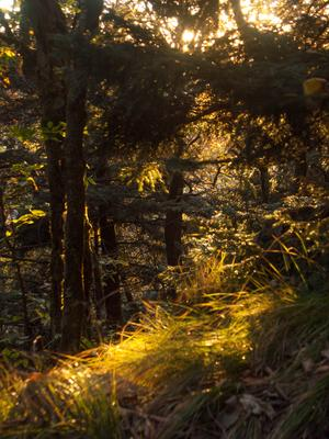 Backlit Spruce Forest