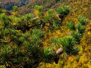 Pine on Looking Glass Rock
