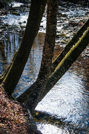 Trees over Big Creek