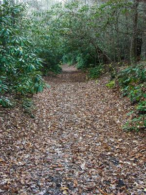 Rhododendron Tunnel on the South Mills River trail