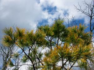 Orange Needles of Stone Mountain Pine