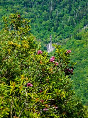 Glassmine Falls and Rhododendron Flowers