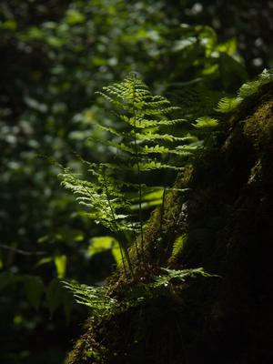 Fern growing on a stump beside the Appalachian Trail below Big Firescald Knob.