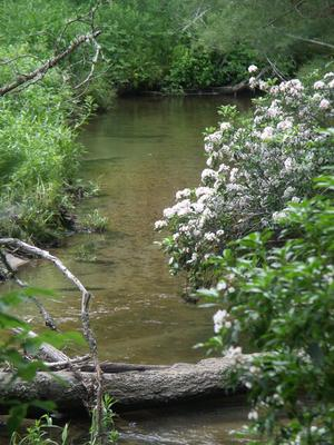 Flowering Laurel on the South Mills River