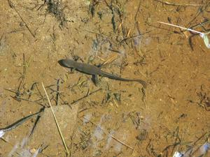 Salamander in the Marsh