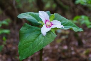 White Trillium at Pink Beds