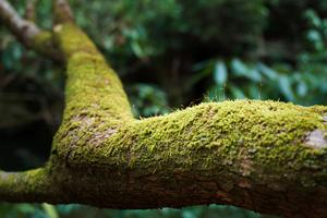 Mossy Rhododendron Branch