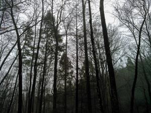 Hemlocks on Toms Creek