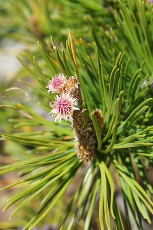 New Growth on Pines