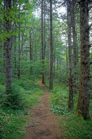 Trail through Norway Spruce