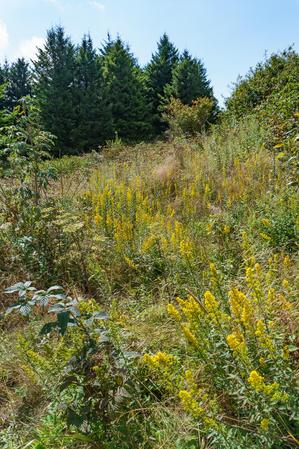 Goldenrod at the Edge of the Spruces
