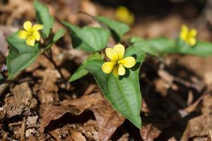 Halberdleaf Yellow Violet