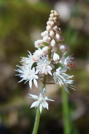 Foam Flower on the Coontree Loop Trail