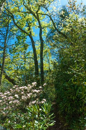 Spring Green and Rhododendron on the Snooks Nose Trail