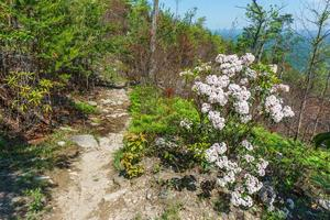 Mountain Laurel on Shortoff MOuntain