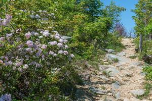 Blooming Mountain Laurel on Shortoff Mountain