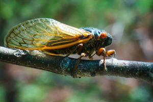 Brood VI Cicada on Shortoff Mountain