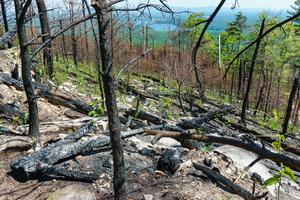 Burned Pines on Shortoff Mountain
