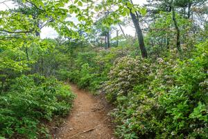 Young's Ridge Trail Mountain Laurel