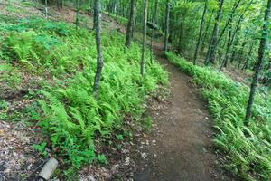 Bearwallow Mountain Trail through a Patch of Ferns